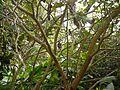Solanum ¿ erianthum ? (5592403743).jpg