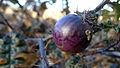 Solanum prinophyllum berry (14792842759).jpg