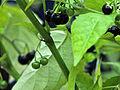 Solanum ptychanthum 5437071.jpg