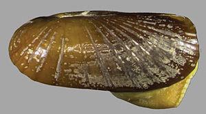 Solemya elarraichensis - Holotype of Solemya elarraichensis