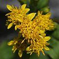 Solidago virgaurea subsp. leiocarpa (flower).JPG