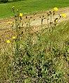 Sonchus arvensis L. (8006716631).jpg