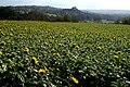 Sonnenblumenfeld Vahingen - panoramio.jpg
