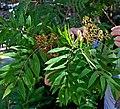 Sorbus americana (14583186459).jpg