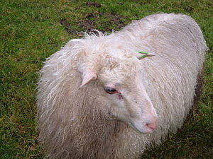 Spælsau - A Spælsau lamb