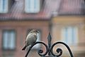 Sparrow - panoramio (1).jpg