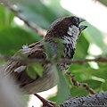 Sparrow in My Garden.jpg