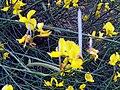 Spartium junceum FlowersandFruits DehesaBoyalPuertollano.jpg