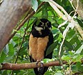Spectacled Owl. Pulsatrix perspicilliata - Flickr - gailhampshire (2).jpg