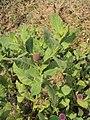 Sphaeranthus indicus 24.JPG