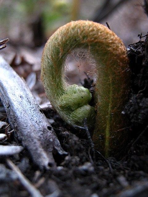 Spiraled fern