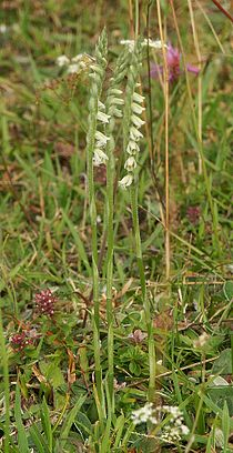 Spiranthes spiralis plants.jpg
