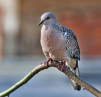 Spotted Dove (Streptopelia chinensis) in Kolkata W IMG 3515