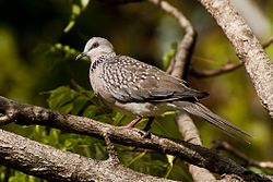 Spotted dove (5087535157).jpg