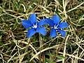 Spring Gentian (Gentiana verna), Cronkley Fell - geograph.org.uk - 1179160.jpg