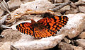 Spring Mountains acastus checkerspot Butterfly.jpg
