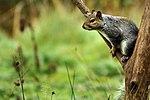 Squirrel - RSPB Sandy (15748091255).jpg