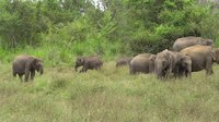 File:Sri Lankan Elephants in Hurulu Eco Park 01.webm