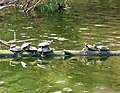 Stacking Turtles (26054363048).jpg