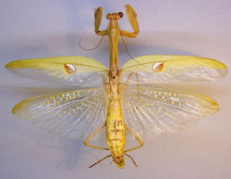 File:Stagmatoptera biocellata TPopp.jpg