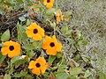 Starr-010419-0049-Thunbergia alata-flowers-Kula-Maui (24423923482).jpg