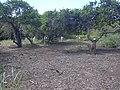 Starr-040127-0006-Schinus terebinthifolius-trimmed up-Kanaha Beach-Maui (24329877069).jpg