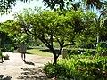 Starr-050303-4802-Dodonaea viscosa-habit-Maui Nui Botanical Garden-Maui (24372091849).jpg