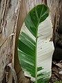 Starr-050407-6295-Musa x paradisiaca-Maoli Maia Manini Koae variegated leaf-Maui Nui Botanical Garden-Maui (24377416639).jpg