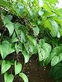Starr-061106-1435-Dioscorea alata-habit-Maui Nui Botanical Garden-Maui (24572884600).jpg