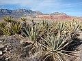Starr-071222-0320-Yucca baccata-habit next to Yucca schidigera-Red Rock Vista-Nevada (30707117523).jpg
