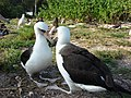 Starr-080531-4707-Eleusine indica-habit with Laysan albatross-Housing area Sand Island-Midway Atoll (24792671322).jpg
