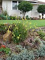 Starr-090417-6182-Bulbine frutescens-flowering habit-Pukalani-Maui (24325412893).jpg