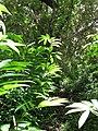 Starr-090623-1467-Costus speciosus-habit in understory-Nahiku-Maui (24966612155).jpg