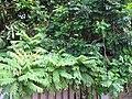 Starr-090713-2584-Spondias purpurea-habit-Lahaina-Maui (24601746579).jpg