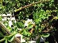 Starr-090801-3509-Lippia micromera-flowering in pot-Olinda-Maui (24877568481).jpg