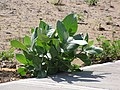Starr-090813-4164-Calotropis procera-small plant-Mauna Lani Kahului-Maui (24972034095).jpg