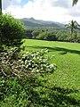Starr-091104-0741-Gossypium tomentosum-habit-Kahanu Gardens NTBG Kaeleku Hana-Maui (24987513465).jpg