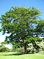 Starr-091104-0787-Parkia timoriana-habit-Kahanu Gardens NTBG Kaeleku Hana-Maui (24360735193).jpg