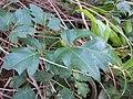 Starr-110209-0702-Cissus rhombifolia-leaves-Resort Management Group Nursery Kihei-Maui (24981081481).jpg