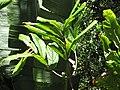 Starr-110330-4073-Theobroma grandiflorum-leaves-Garden of Eden Keanae-Maui (24785589040).jpg
