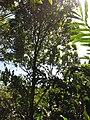 Starr-110330-4080-Cinnamomum verum-habit-Garden of Eden Keanae-Maui (24987891691).jpg