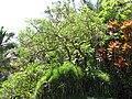 Starr-110330-4180-Erythrina crista galli-habit-Garden of Eden Keanae-Maui (24988047991).jpg