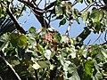 Starr-110330-4194-Ochroma pyramidale-leaves-Garden of Eden Keanae-Maui (24988067911).jpg