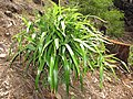 Starr-110411-4956-Dianella sandwicensis-fruiting habit form sandwicensis-Hawea Pl Olinda-Maui (24989217891).jpg