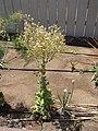 Starr-120406-4408-Lactuca sativa-flowering habit-Kawela-Molokai (24512063713).jpg