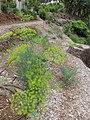 Starr-120415-4671-Anethum graveolens-flowering habit in veggie garden-Hawea Pl Olinda-Maui (25113127136).jpg