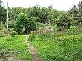 Starr-120606-7071-Luffa aegyptiaca-garden view-Laulima Farm Kipahulu-Maui (41747399260).jpg