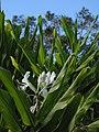 Starr-121031-0481-Hedychium coronarium-flowers and leaves-Waikamoi Flume Rd-Maui (24827296689).jpg