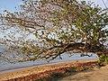 Starr-130320-3525-Terminalia catappa-habit with folks hanging at park-Anini Beach-Kauai (25183002846).jpg