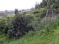 Starr-140304-0030-Caesalpinia decapetala-habit-Kekaulike Hwy Kula-Maui (24873274599).jpg